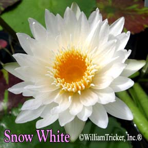Snow White Water Lily - Tricker Hybrid