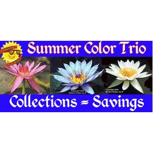 Summer Color Trio - 3 Water Lilies