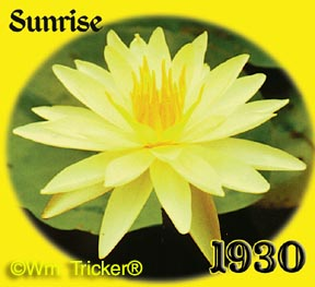 Sunrise - Hardy Water Lily