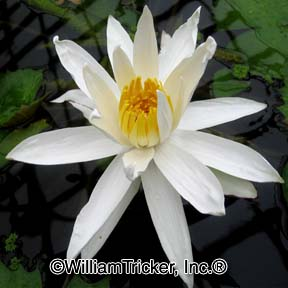 White Saber Tooth - Night Blooming Lily