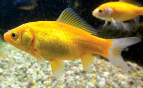 Lemon-Yellow Goldfish